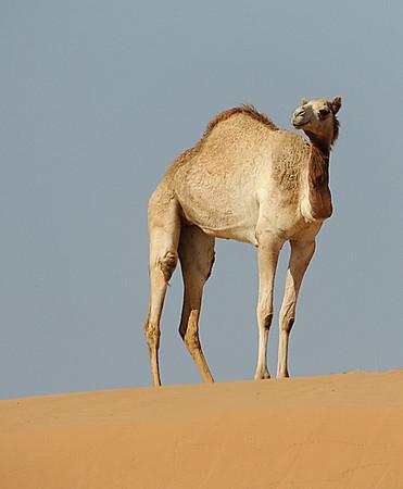 Free-range camel