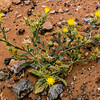 Yellow Star Thistle