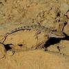 Baluch Ground Gecko (Bunopus tuberculatus) - Sharjah desert, 15/02/2013, c. 8 a.m.