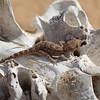 Baluch Ground Gecko on camel's skull
