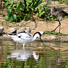 Pied Avocet and Bar-tailed Godwit