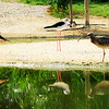 Eurasian Curlew and Black-winged Stilts