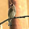 Eastern Goldfinch/Grey-headed Finch