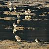 Kentish Plovers