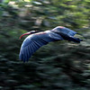 Northern Bald Ibis in flight