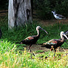 Glossy Ibis and Helmeted Guinea Fowl