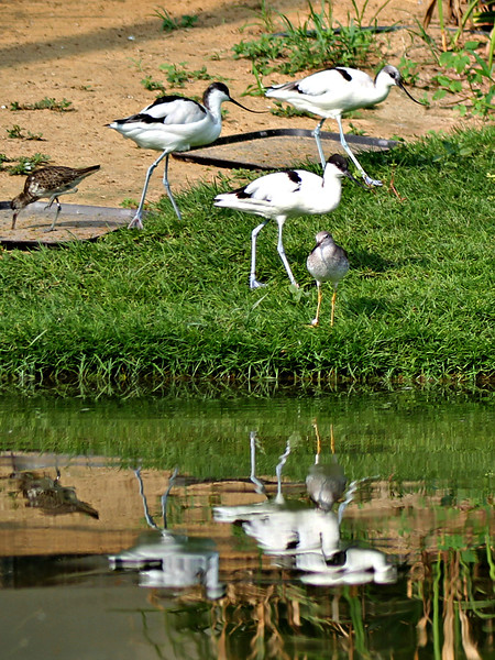 Pied Avocets and Sandpipers
