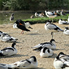 Eurasian Oystercatcher and Pied Avocets