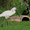 Eurasian Spoonbill and White-faced Whistling Duck