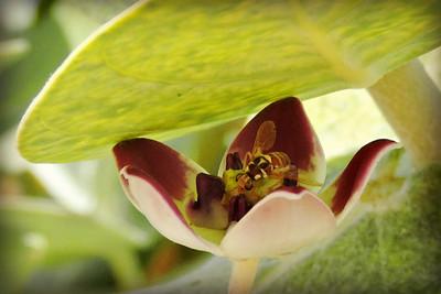 Fruit Fly on Sodom's Apple Milkweed