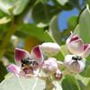 Greenbottles on Sodom's Apple Milkweed
