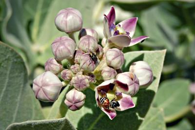 Housefly and Dwarf Asian Honeybee on Sodom's Apple Milkweed