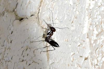 Black Runner Ant