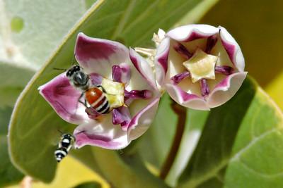 Dwarf Asian Honeybee and Tiny Hoverfly on Sodom's Apple Milkweed