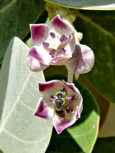 Wasp on Sodom's Apple Milkweed