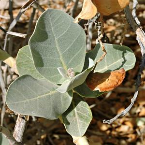 Sodom's Apple Milkweed  with seedpod