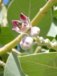 Asian Dwarf Honeybee on Sodom's Apple Milkweed