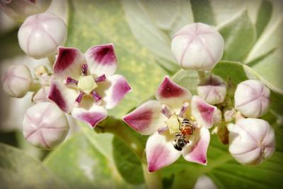 Dwarf Asian Honeybee on Sodom's Apple Milkweed