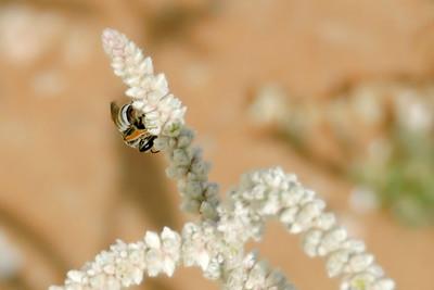 Asian Dwarf Honeybee on Kapok Plant