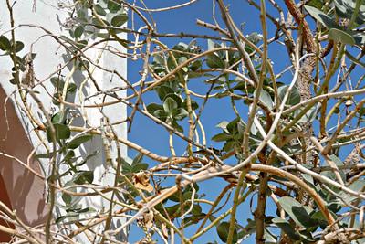 Sodom's Apple Milkweed  with sparrow