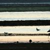 Flamingos and Shorebirds