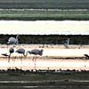 Greater Flamingos and Shorebirds