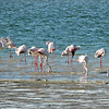Greater Flamingos and Lesser Sand Plovers