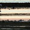 Flamingos, Herons and Shorebirds
