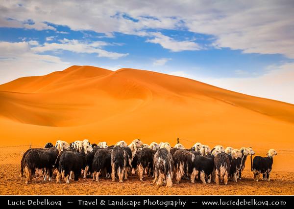 Middle East - GCC - United Arab Emirates - UAE - Emirate of Abu Dhabi - Al Ain - Area of Tilapia Lake - Zakher Lake surrounded by sand dunes under Jabal Hafeet - Jabel - Jebal - Desert Goats
