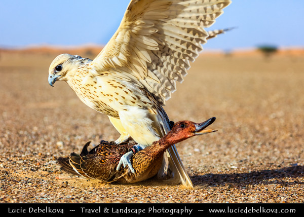 Middle East - GCC - United Arab Emirates - UAE - Emirate of Ras Al Khaimah - RAK - Desert area - Falcon, bird of prey known for incredible hunting skills, with his catch - duck