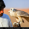 Middle East - GCC - United Arab Emirates - UAE - Emirate of Ras Al Khaimah - RAK - Desert with Sand Dunes - Falconer and his falcons