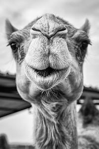 Camel portrait ... Dahab ... Egypt