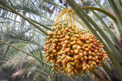 Fresh dates ... UAE