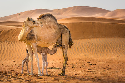 Camels in the dunes ... UAE