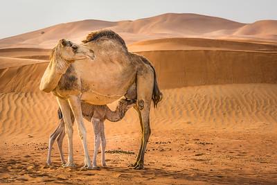 Camel in the dunes ... Al Ain