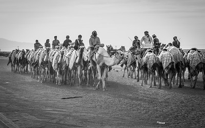 Racing camels after training in Al Ain, UAE.