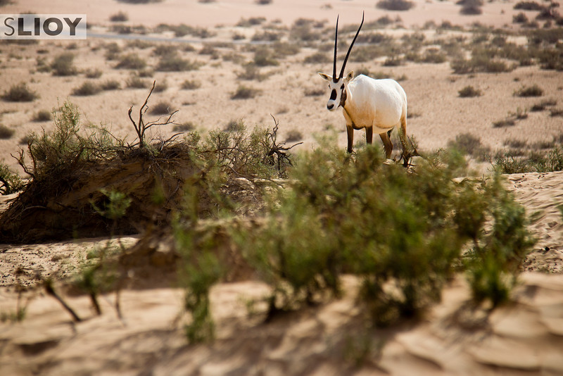 Arabian oryx quietly lunching on the grasses of the Dubai Desert Conservation Reserve.