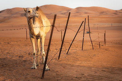 Camel Camp ... UAE