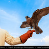 Middle East - GCC - United Arab Emirates - UAE - Ras Al Khaimah - RAK - Desert with Sand Dunes -  Falconer and his falcons