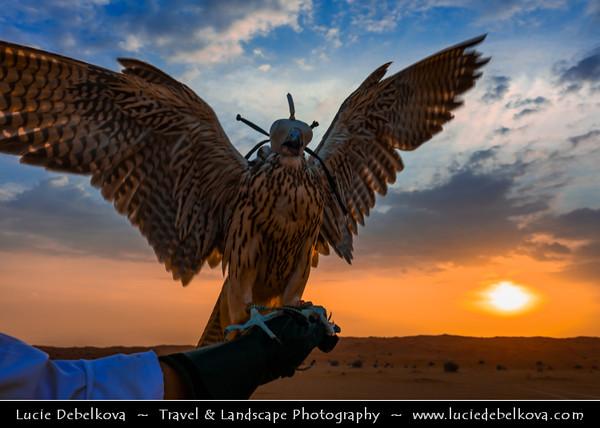 Middle East - GCC - United Arab Emirates - UAE - Ras Al Khaimah - RAK - Desert with Sand Dunes -  Falconer and his falcons