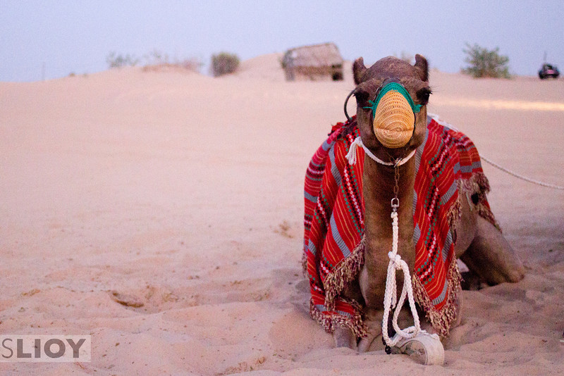 Camel in the desert.<br /> <br /> Dubai, United Arab Emirates