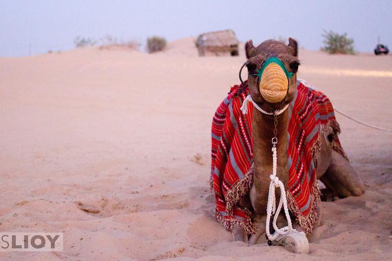 Camel in the desert of Dubai.