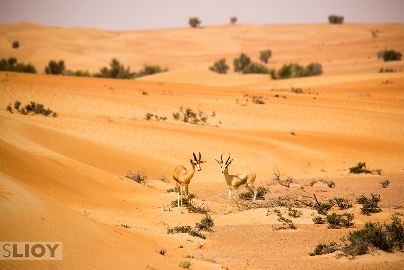 Arabian Gazelles in the sand dunes of the Dubai Desert Conservation Reserve