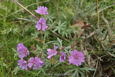 Geranium charlesii