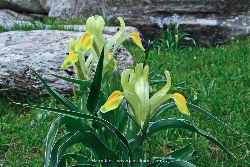 Iris warleyensis x Iris svetlanae