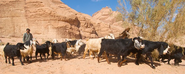 Goats and herder