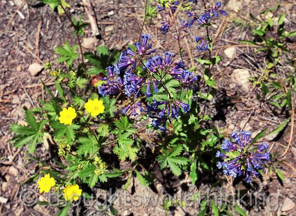 038 MF2005 Day2 June 20 cinquefoil & ? (blue) near 2nd campsite