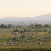 Gray Cranes in Hula Valley in the Golan Heights