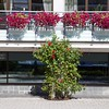 Molde: Storgata: Roses and flower baskets on store
