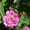 Molde: Bjørnstjerne Bjørnsons veg: Rose bloom